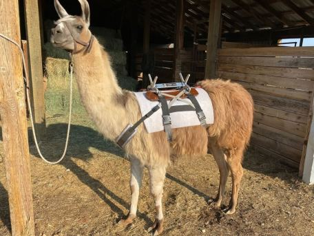 pack llama saddles and gear for sale