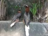 rufous-hornbill