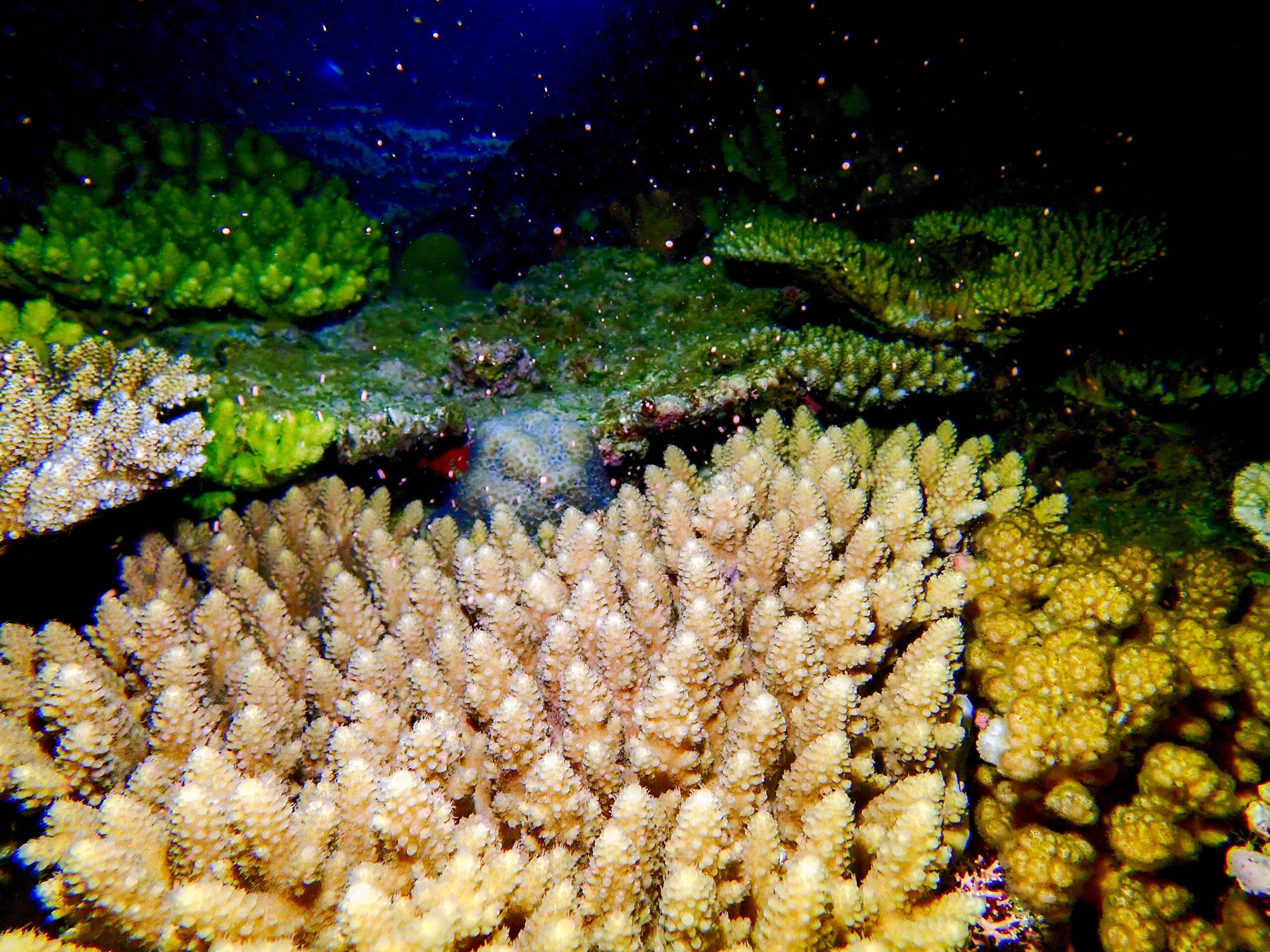 恩納村 サンゴの産卵