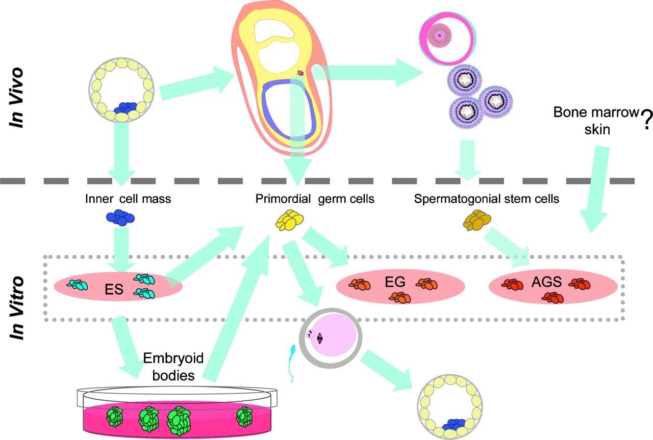hight resolution of schematic diagram showing the relationship between in vivo development of germ cells and the in vitro pluripotent stem cell lines that have been reported to