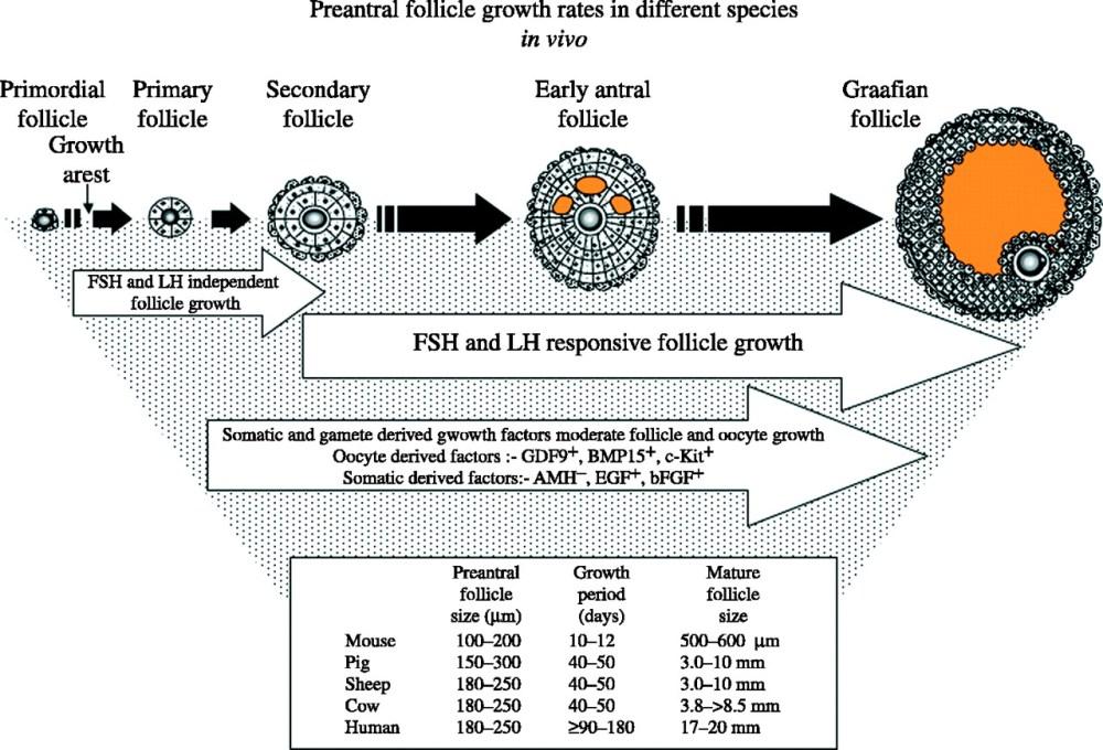medium resolution of diagrammatic representation of the regulators and developmental time frames of mammalian follicle and oocyte development in vivo