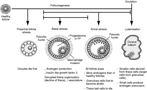 small resolution of atresia during follicle development is a more common fate of thecal cells than progression through to luteinization in preantral follicles the oocytes die
