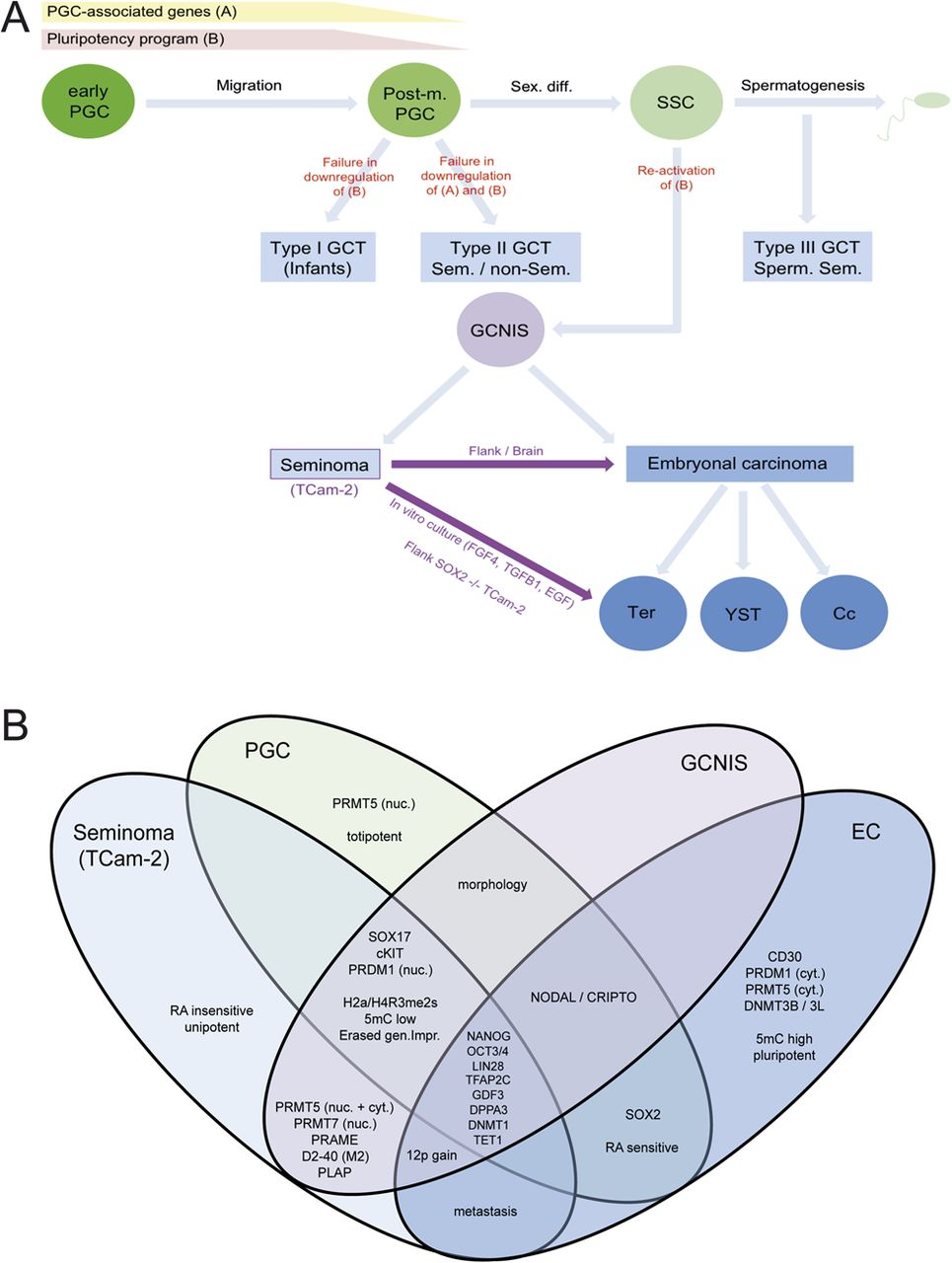 hight resolution of  b venn diagram summarizing commonly shared gene expressions and cellular molecular features between pgcs gcnis seminomas and ecs