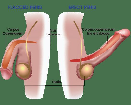 penis erectile