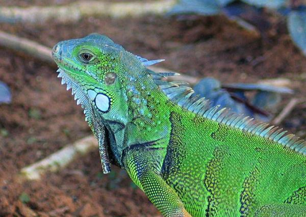 Puerto Rico to Kill Iguanas Export Meat Repeating Islands