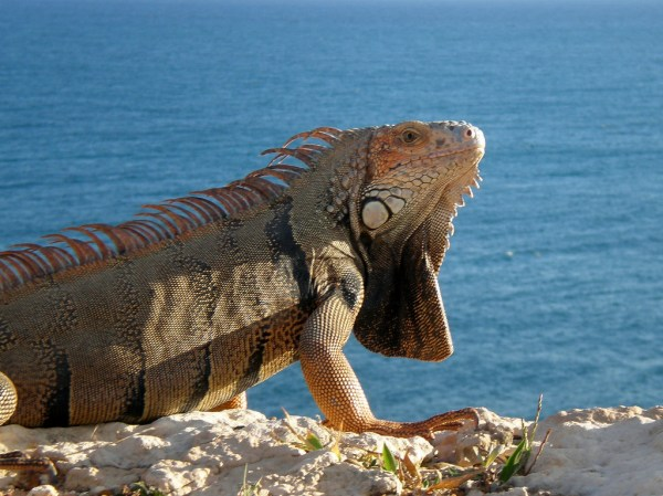 Iguanas belong au naturel even in Puerto Rico