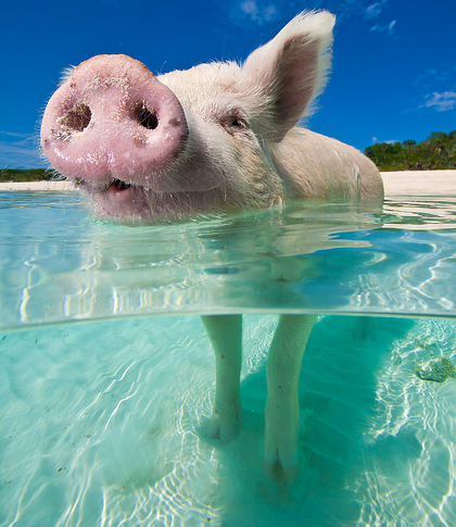 Cute Baby Pigs Wallpaper Swimming With Pigs Or Pigs Of The Caribbean A New