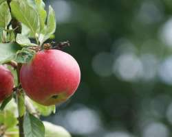 Apple Tree with Leaves and Fruit