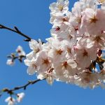 花見、桜の名所100選から東京おすすめスポット5