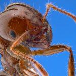 強毒『ヒアリ(火蟻)』日本でまた発見…米国では死者も!