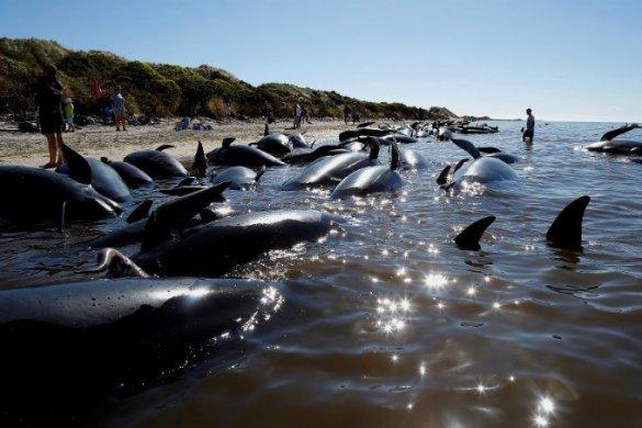 Baleias encalhadas na Nova Zelândia: não existe explicação científica clara para o comportamento (Anthony Phelps)