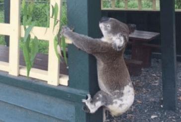 SALVAJISMO, ATORNILLAN A UN KOALA EN AUSTRALIA