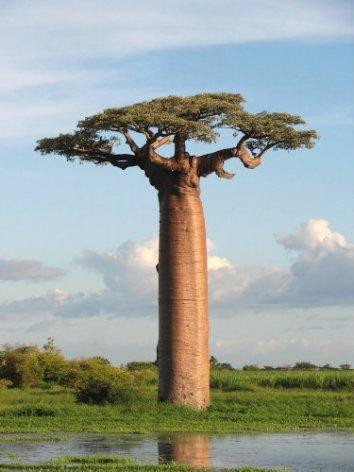 9 des 13 baobabs les plus anciens et les plus grands d'Afrique sont morts durant la dernière décennie