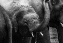 Photo of Animais em vias de extinção: Elefante