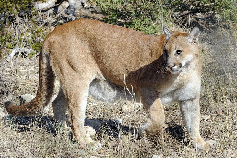 estimating texas mountain lion