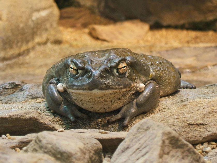 colorado-river-toad