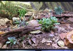 hognose snake terrarium ideas - nikki edwards