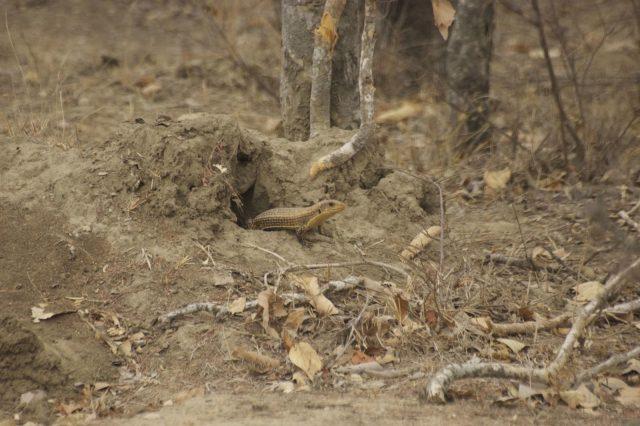 sudan plated lizard habitat wild