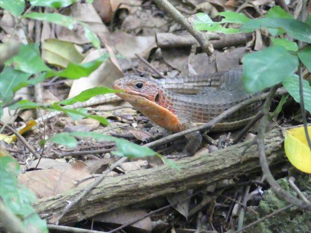 sudan plated lizard habitat - live plants