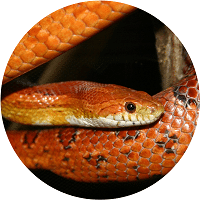 cornsnake homepage feature 200x200