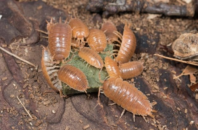 Porcellio laevis orange isopods - bioactive terrarium bugs