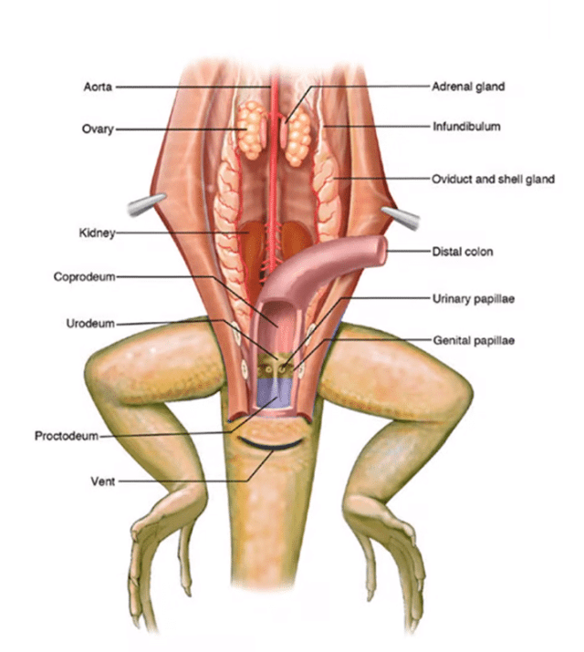 does loose substrate cause impaction? - a look at bearded dragon gastrointestinal anatomy