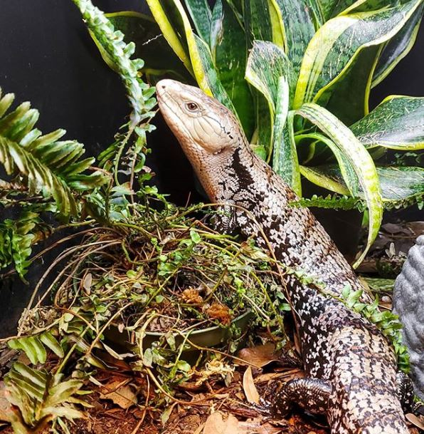 live plants vs fake plants - plants trashed by blue tongue skink