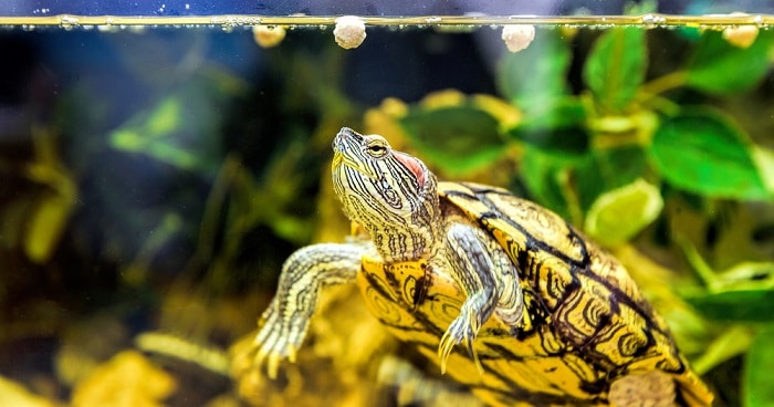 what do red-eared sliders eat - turtle pellets