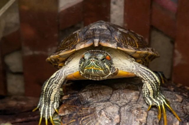 red-eared slider sexing - male example