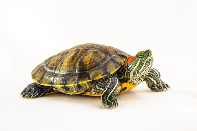 how to buy a red-eared slider