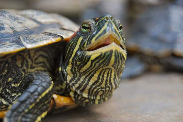 red-eared slider with a respiratory infection