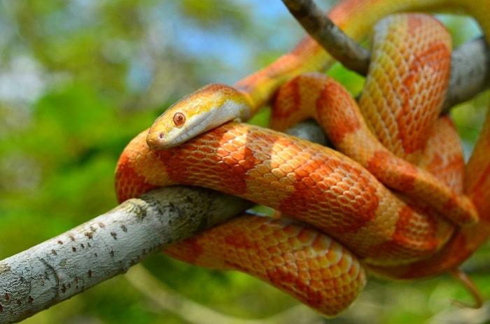 corn snake lighting and UVB