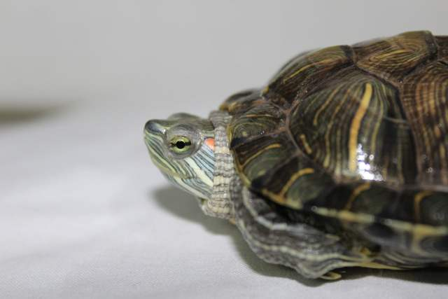 red eared slider pyramiding