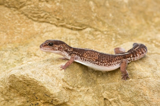 african fat-tailed gecko care sheet