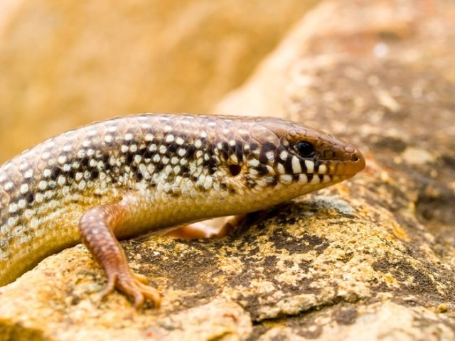 ocellated skink temperatures and heating