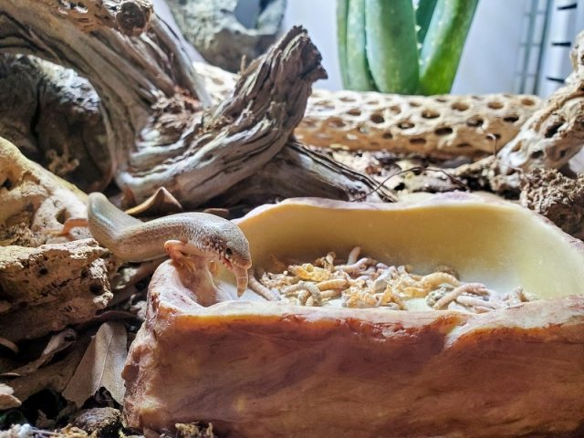 what do ocellated skinks eat - mealworms
