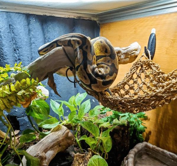 ball python basking under UVB