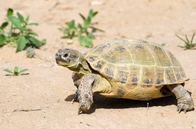 russian tortoise care sheet image