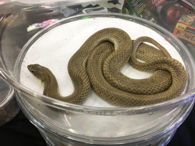 Wasatch Reptile Expo Fall 2018 - Madagascar hognose snake, Animal Ark Orem