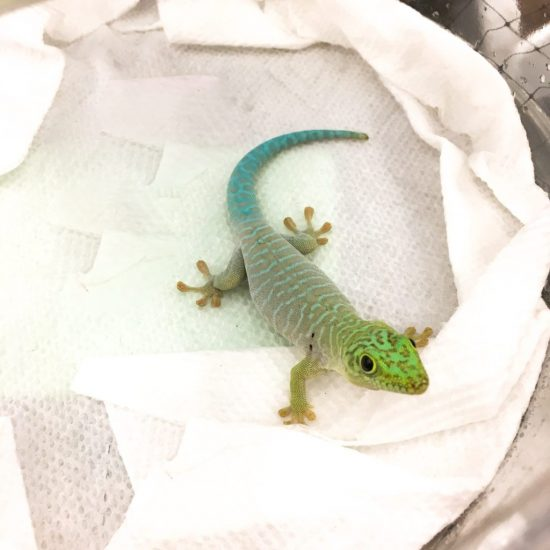 Wasatch Reptile Expo Fall 2018 - standing's day gecko, Pets N Such