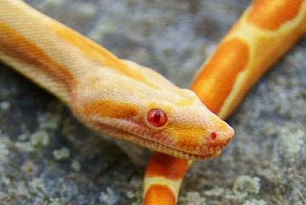 Boa constrictor morphs - bci pc-aby line orange sharp sunglow - anna masse