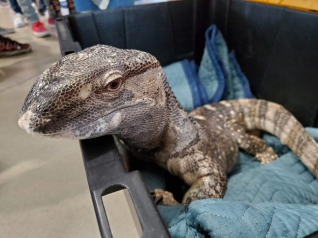black throat monitor at the at the Fall 2019 Wasatch Reptile Expo