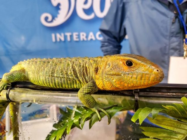 juvenile caiman lizard at the Fall 2019 Wasatch Reptile Expo
