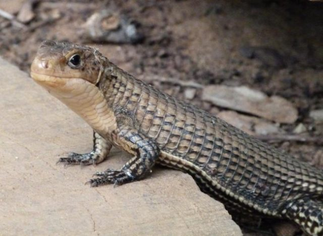 healthy rough-scaled plated lizard