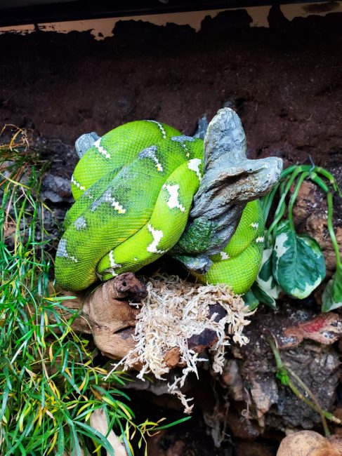 emerald tree boa at the Fall 2019 Wasatch Reptile Expo