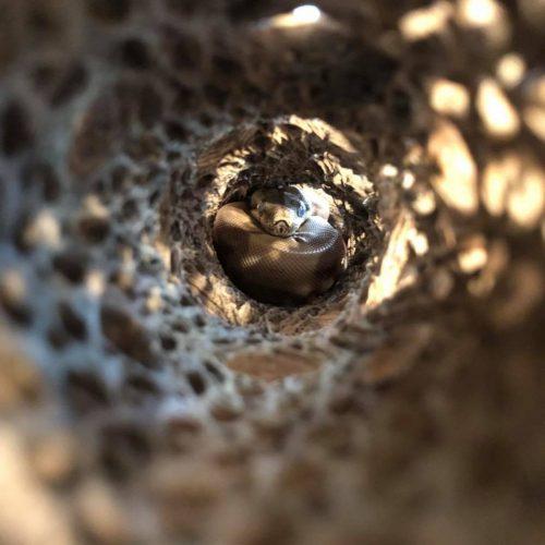 Boa Constrictor Terrarium Decor - boa in hide