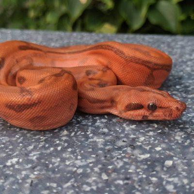Boa constrictor morphs - hypo blood - ryan derer