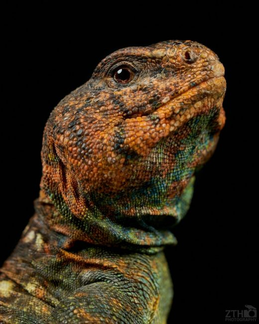 ZTH photography uromastyx- gifts for reptile lovers 2019