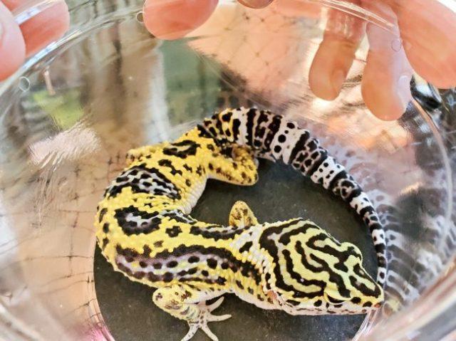 Litebrite Bandit leopard gecko morph - Wasatch Reptile Expo Spring 2019