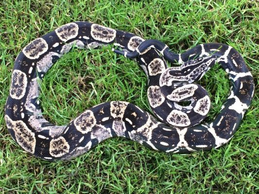 Boa constrictor subspecies - longicauda - helen curtis